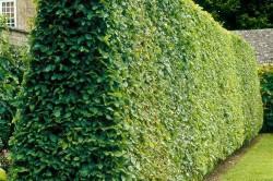 В ландшафтном дизайне граб используют для аллейной посадки и живой изгороди, так как хорошо переносит стрижку.