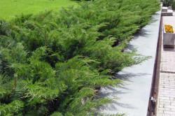 Можжевельник размножается как черенками, так и семенами, однако можно купить и готовые саженцы.