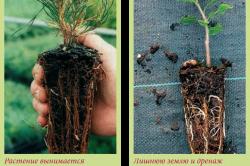 Грунт вокруг корней надо удалить на 1/3 по высоте, ширине и длине. Старые и больные корни при этом отрезают, а здоровые немного укорачивают. Поверхность среза у сильных корней должна смотреть вниз.