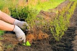 Проблема с изгородью и живой стеной может возникнуть, если участок расположен на болотистой местности, поскольку в этом случае загнивают глубокие сильные корни растений.