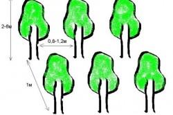 Расстояние между саженцами в стриженной высокой изгороди