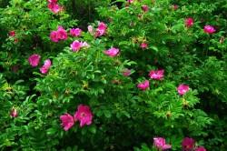 Выбирая кусты шиповника для высадки в грунт, нужно отдавать предпочтение молодым здоровым растениям.