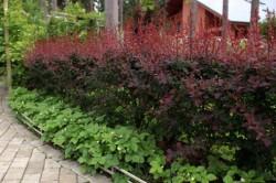 Живую изгородь можно быстро получить, посадив терн. Его кусты очень колючие, к тому же они не требуют особенного ухода. К холодным зимам, кстати, устойчивые.