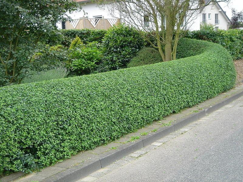 К преимуществам живой изгороди относят то, что они очень быстро оплетают стены и опоры.