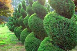 Живая изгородь - дизайн