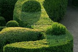 Формованная живая изгородь