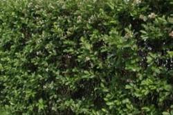 Изгородь черноплодной рябины.