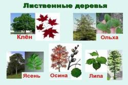 Виды лиственных деревьев