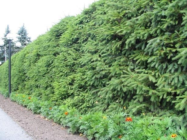 Самым простым и доступным вариантом живой изгороди считается изгородь из ели.