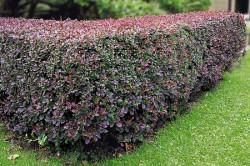 Наиболее ярко выраженными декоративными свойствами барбарис выделяется весной, в период своего цветения, и осенью, во время своего плодоношения.