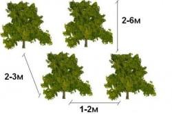 Расстояние между саженцами в свободно растущей высокой изгороди