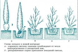 Схема посадки в живой изгороди