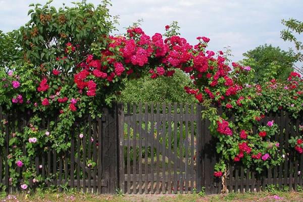 Зеленая изгородь украсит самый неприметный забор.