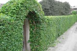 Живая зеленая изгородь