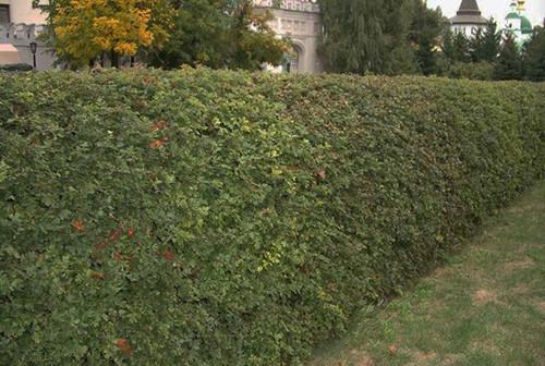 Забор из живой изгороди
