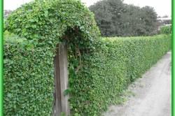 Живая изгородь из вьющегося растения