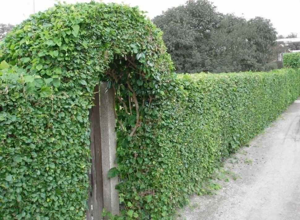 Живая изгородь с калиткой