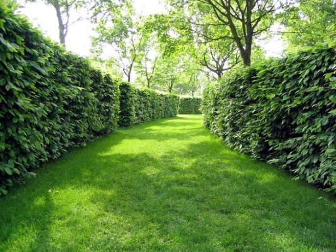 Выглядят деревья изгороди обычно как обрамление участка, дорожки или газона.