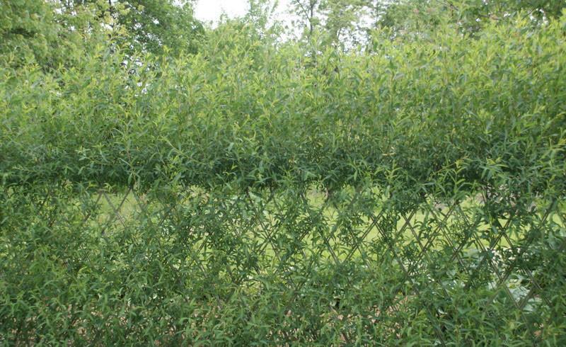 Зеленая изгородь из ивы