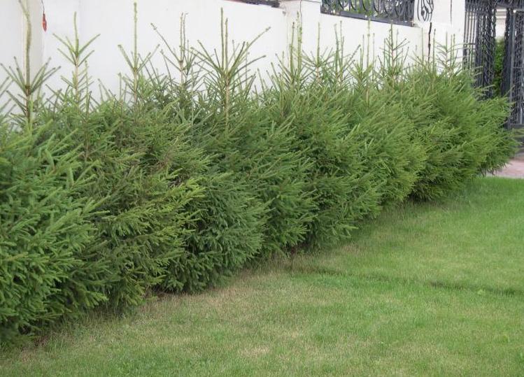 Живая изгородь защитит участок не только от любопытных взглядов прохожих и соседей, но и от шума и пыли