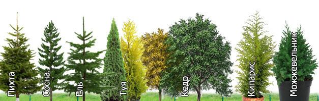 Виды хвойных деревьев для