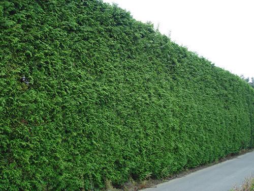 Ограда  из бирючины