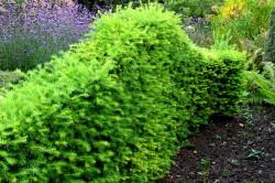 Наилучшими для живых изгородей являются теневыносливые породы с относительно медленным ростом, хорошей ветвистостью и густой кроной