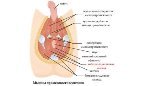 Лобково-копчиковая мышца связана с предстательной железой, отвечающей за половую систему мужчины