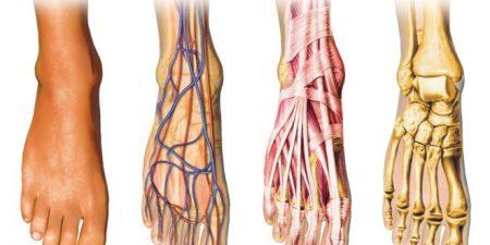 Строение и функции задней части ступни