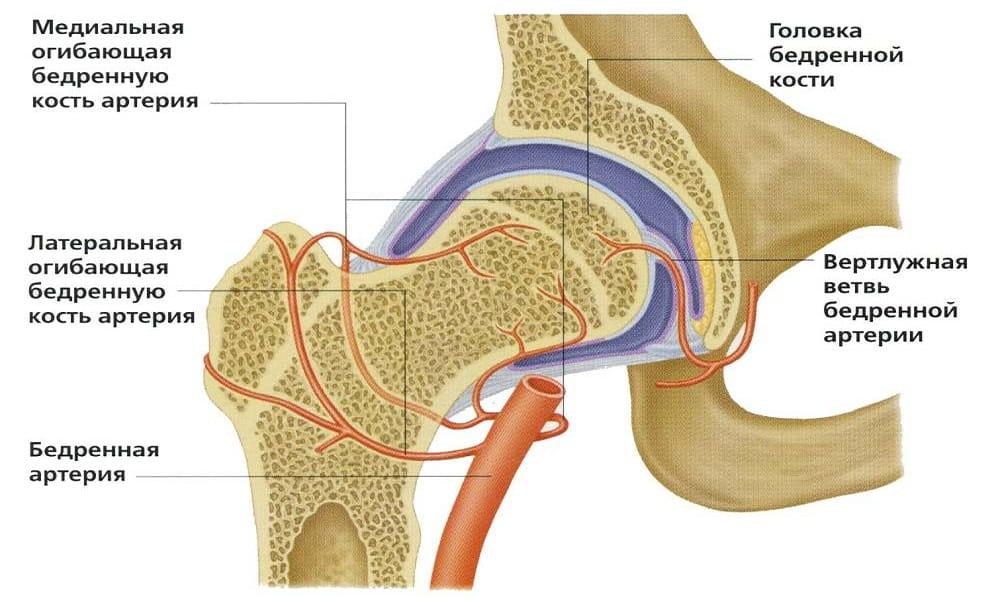 Анатомия тазобедренного сустава и механизм развития болезни