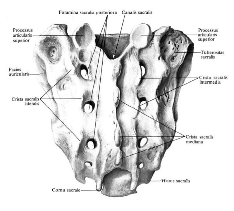 Анатомия крестца фото
