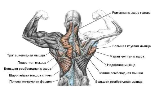 Анатомия мышцспины и классификация ихповреждений