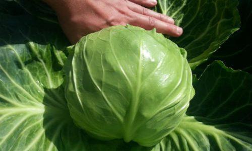 Люди думают, что от белокочанной капусты вреда быть не может. Но включать ее в меню больного панкреатитом и гастритом нельзя, так как этот овощ раздражает слизистые органов ЖКТ