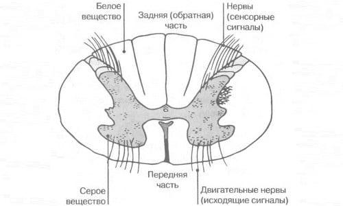 Спинной мозг в разрезе