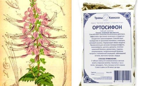 Главный компонент чая при цистите - ортосифон тычиночный. Он оказывает мочегонное, антиспастическое действие, выводит хлориды и мочевую кислоту, расслабляет гладкую мускулатуру внутренних органов