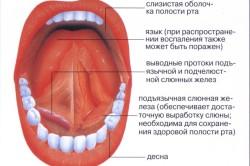 Основные составляющие полости рта