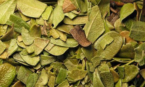 Наиболее полезной частью растения являются листья, в которых содержится арбутин, относящийся к фенольным гликозидам